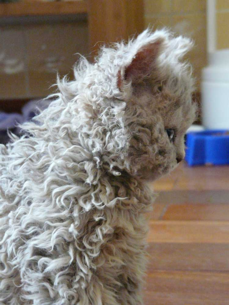 A white Selkirk Rex cat
