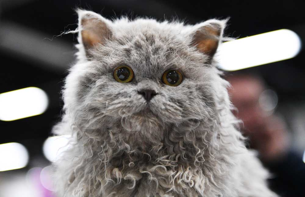 A grey Selkirk Rex cat
