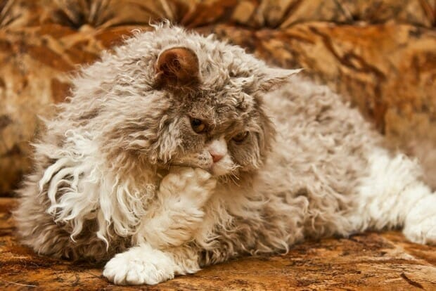 A big grey and white Selkirk Rex cat