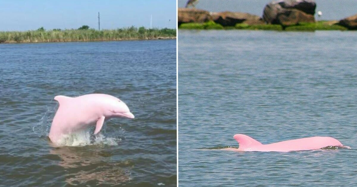 Pinky the dolphin caught on camera with pink calf in Louisiana river
