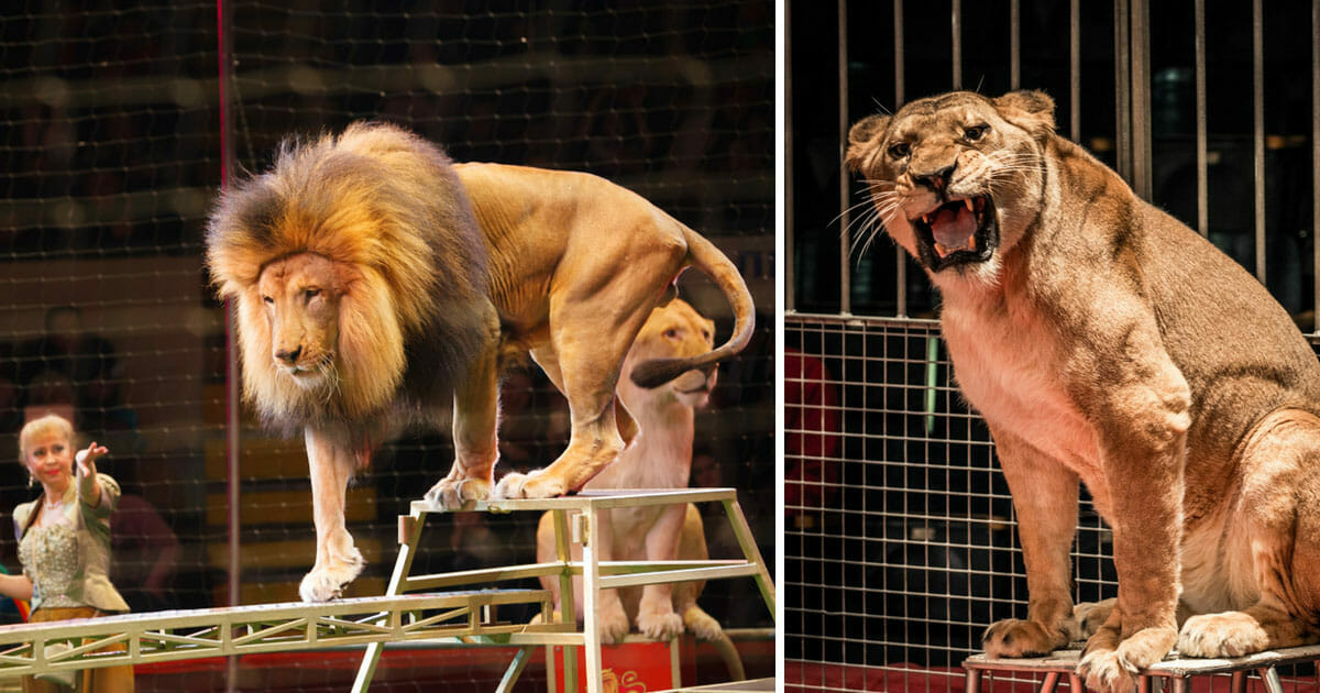 New law banning the use of wild animals in traveling circuses is introduced
