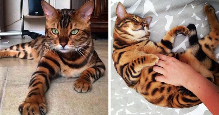 Meet Thor, the most beautiful bengal cat in the world!