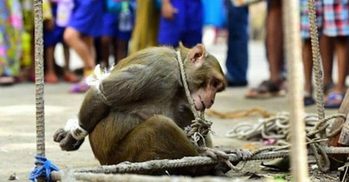 Monkey grabs fruit and gets bizarre punishment, and awful crowd gathers to cheer