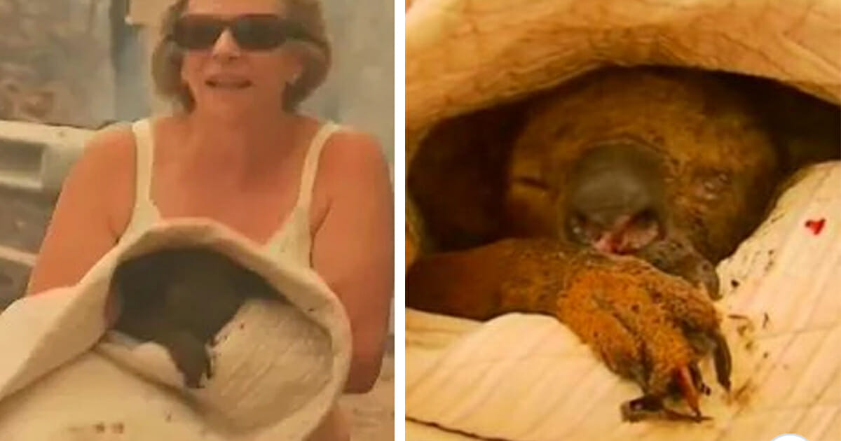 Koala saved from raging bushfires by heroic grandma, has died