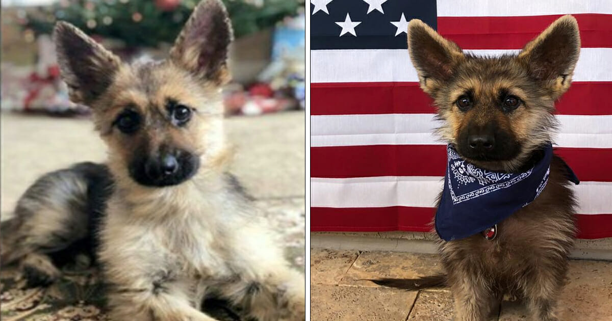 Meet Ranger, the adorable German Shepherd pup who will stay puppy-sized forever due to rare condition