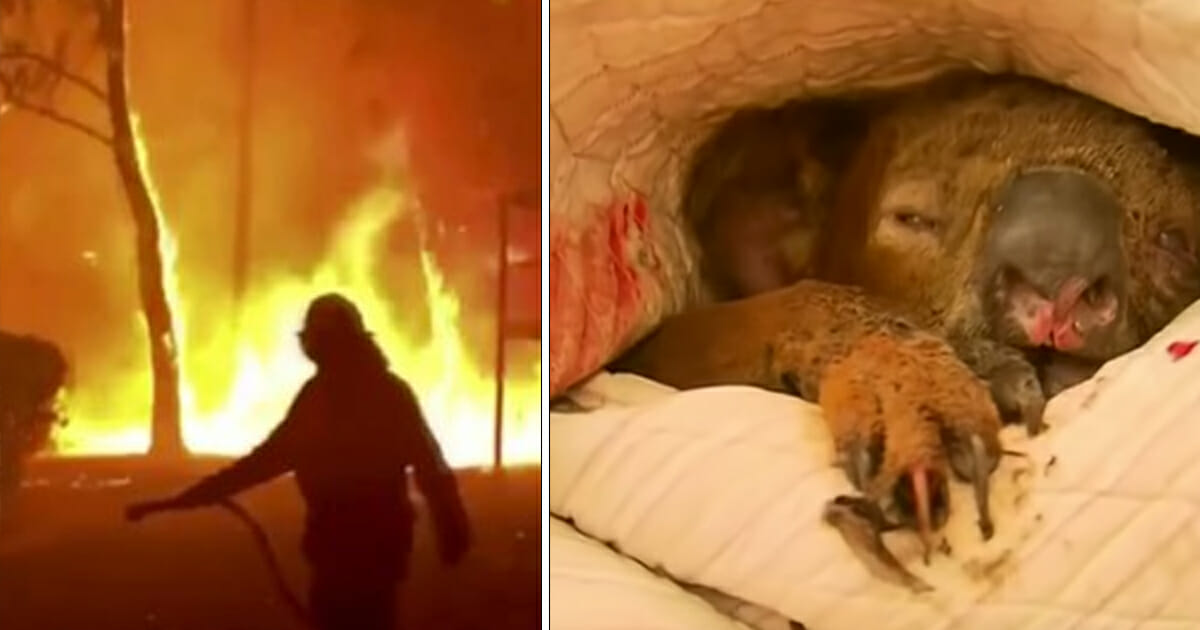 Almost half a billion animals have died in the Australian bushfires