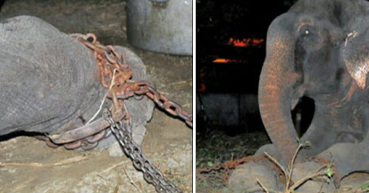 Elephant who spent 50 years in chains is rescued – has heartbreaking reaction
