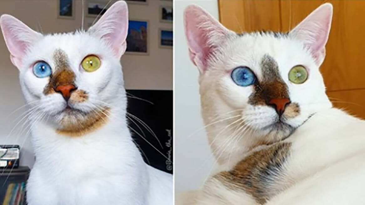 Image result for Bowie the rescue cat with unique appearance becomes internet sensation