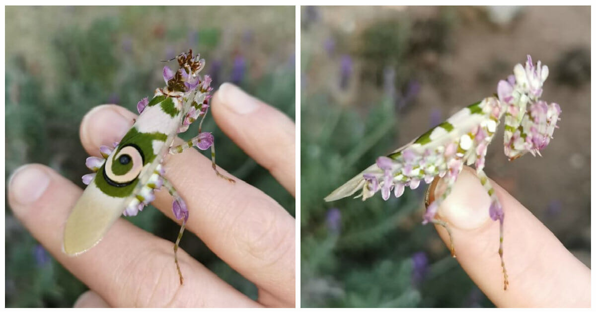 Woman finds gorgeous mantis in her garden and can't believe it's real