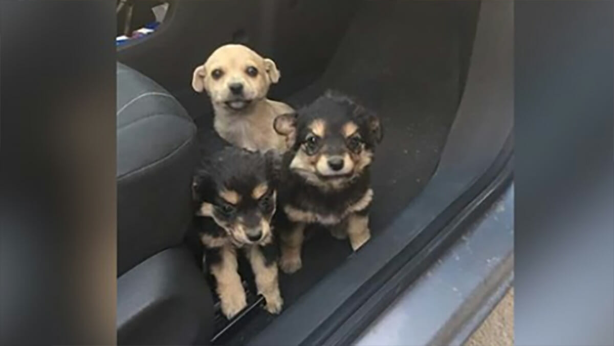 Man finds three very young puppies playing on the highway after being dumped