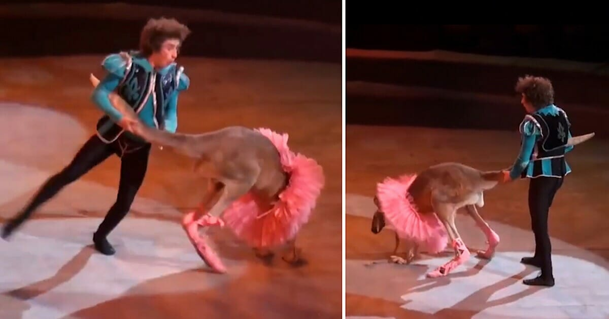 Kangaroo dressed in a ballerina tutu is taunted in the name of entertainment