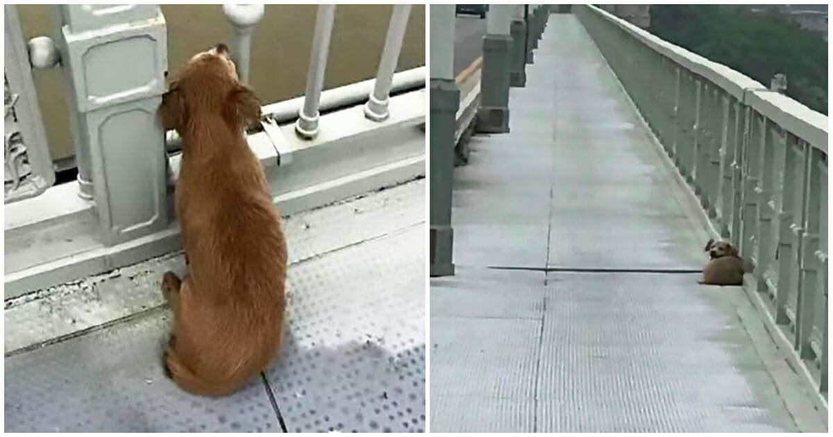 Dog is found waiting on bridge days after owner committed suicide