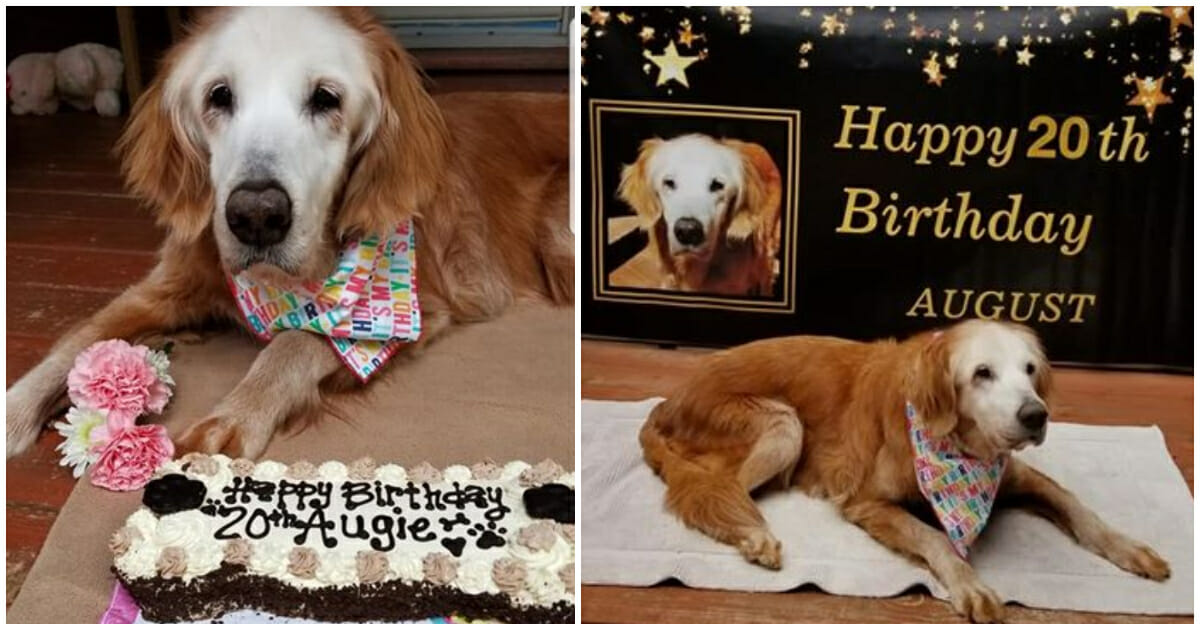 Dog celebrates 20th birthday and becomes the oldest golden ...