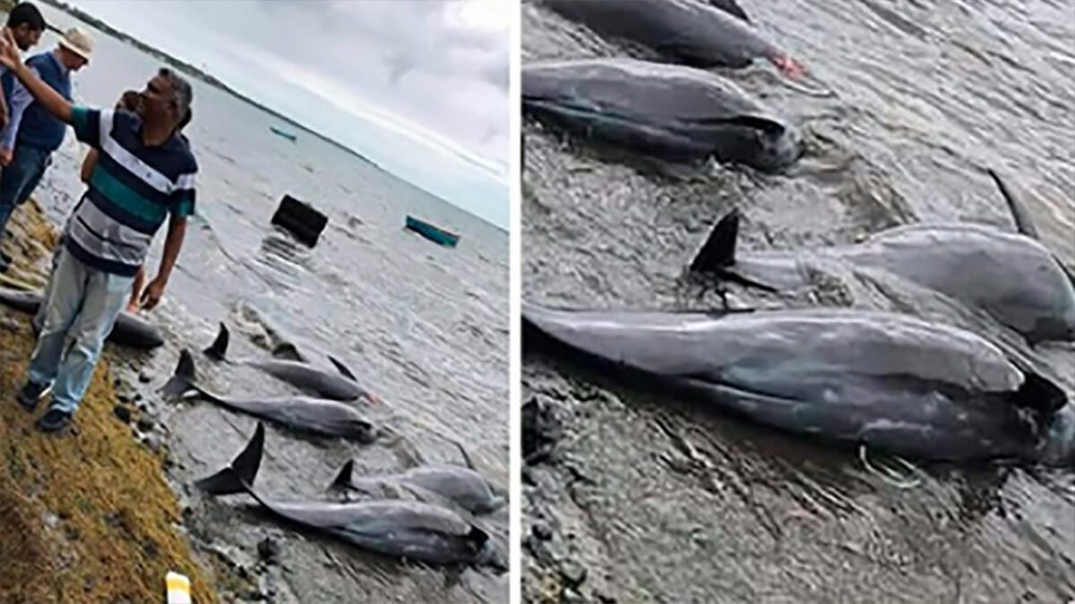 Around 14 dolphins are found dead and countless others are 'seriously' sick  after fuel spill