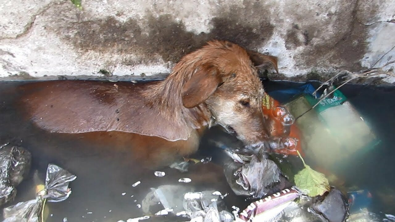 Rescuers save dog found on verge of death in sewer drain